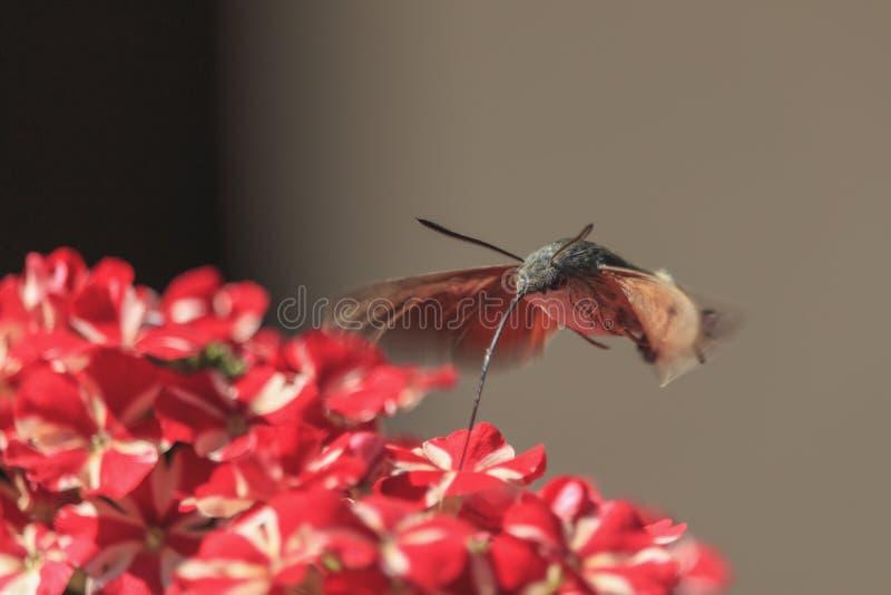 Νέκταρ επιλογής γεράκι-σκώρων κολιβρίων από το κόκκινο μέρος λουλουδιών Stellatarum Macroglossum στοκ φωτογραφία με δικαίωμα ελεύθερης χρήσης