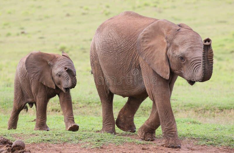 Νέοι αφρικανικοί φίλοι ελεφάντων στοκ εικόνες
