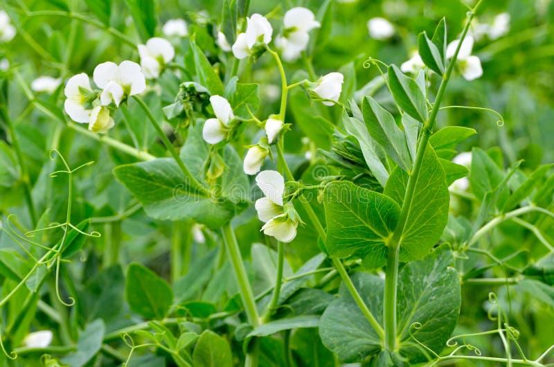 Νέοι βλαστοί και λουλούδια σε έναν τομέα των μπιζελιών στοκ εικόνες με δικαίωμα ελεύθερης χρήσης