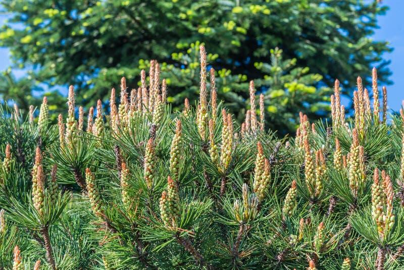 Νέοι βλαστοί σε ένα όμορφο κωνοφόρο δέντρο κωνοφόρων στοκ φωτογραφίες