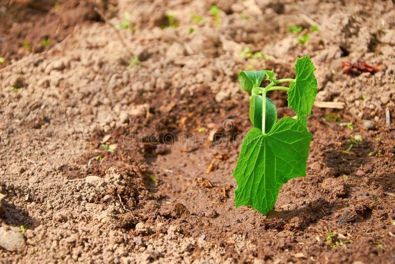 Νέοι βλαστοί του αγγουριού που αυξάνονται στον κήπο στοκ εικόνες