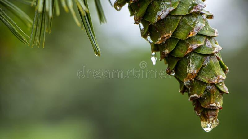 Νέοι κώνοι πεύκων, με τις πτώσεις της ρητίνης στην επιφάνεια r στοκ εικόνα