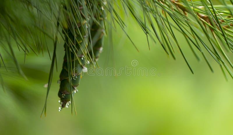 Νέοι κώνοι πεύκων, με τις πτώσεις της ρητίνης στην επιφάνεια r στοκ εικόνες