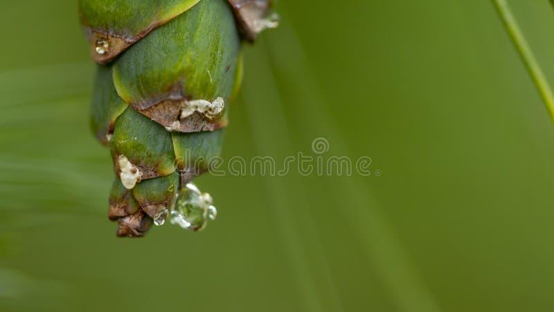 Νέοι κώνοι πεύκων, με τις πτώσεις της ρητίνης στην επιφάνεια r στοκ φωτογραφία με δικαίωμα ελεύθερης χρήσης