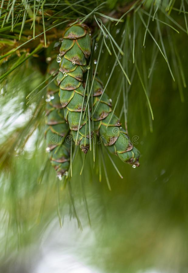 Νέοι κώνοι πεύκων, με τις πτώσεις της ρητίνης στην επιφάνεια r στοκ φωτογραφία