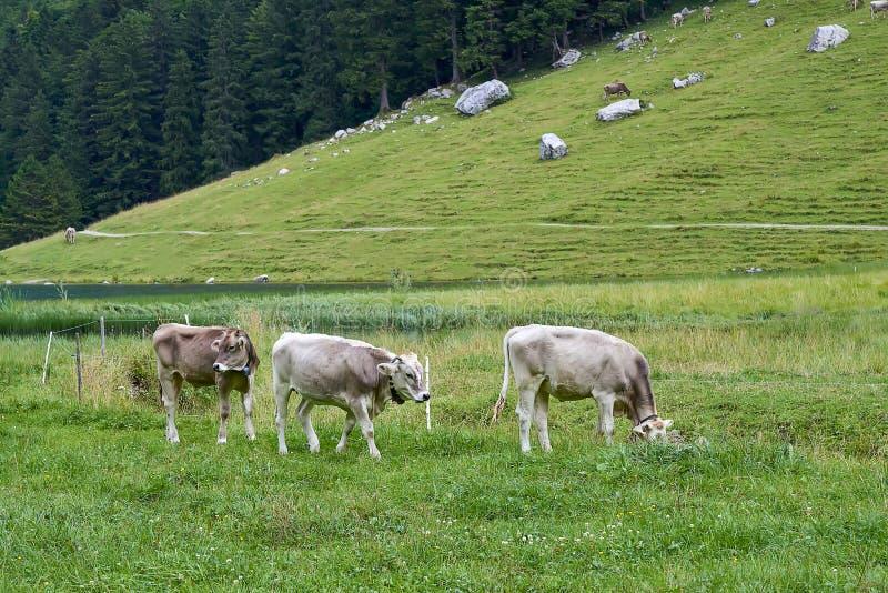 Νέοι μόσχοι και αγελάδες στον τομέα στοκ φωτογραφίες