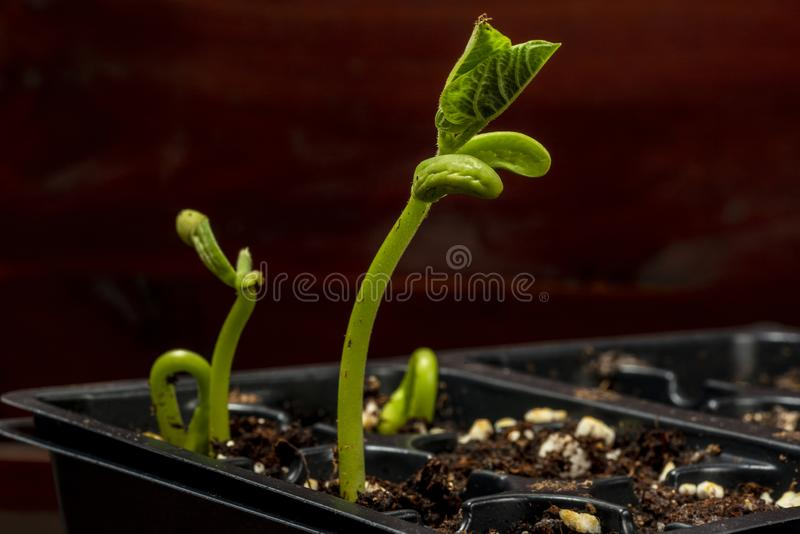 Νέοι νεαροί βλαστοί φασολιών για τον κήπο στοκ φωτογραφία με δικαίωμα ελεύθερης χρήσης