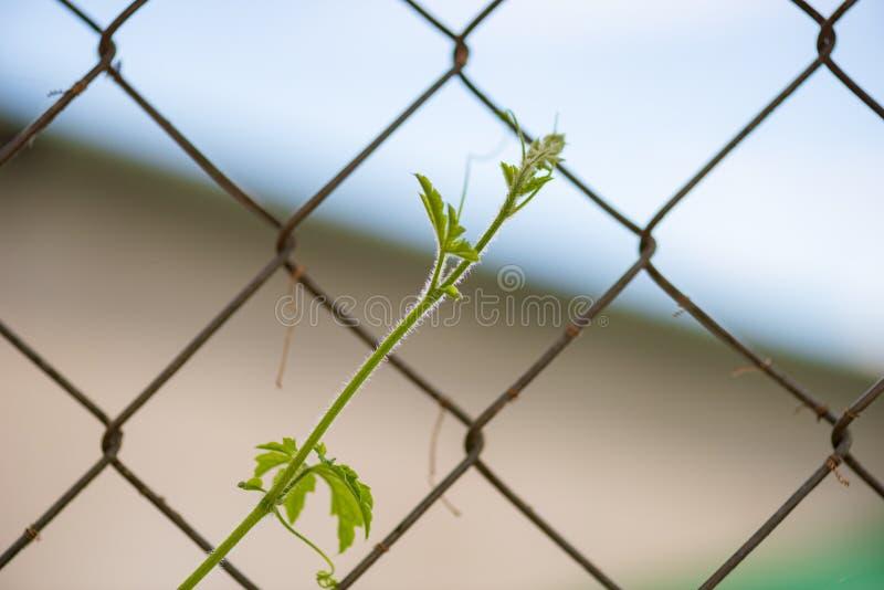 Νέοι οφθαλμός, λουλούδι, φύλλα και περισσότεροι του φυτού loofah στη φύση με το μικρό μέρος 10 εντόμων στοκ φωτογραφία
