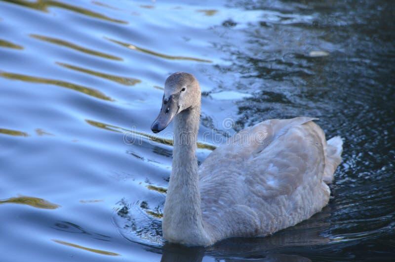 Νέος άσπρος κύκνος Cygnini που κολυμπά στο νερό, όμορφο πουλί σε μια λίμνη στοκ εικόνες με δικαίωμα ελεύθερης χρήσης