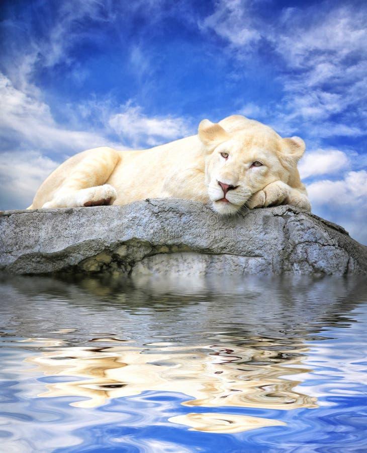 Νέος άσπρος ύπνος λιονταριών στο βράχο με τις αντανακλάσεις στο νερό στοκ φωτογραφίες