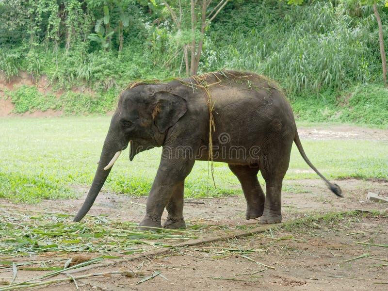 Νέος αρσενικός ινδικός ελέφαντας που τρώει τη χλόη σπάζοντας μεταξύ της επίδειξης στο στρατόπεδο ελεφάντων στην Ταϊλάνδη στοκ εικόνες