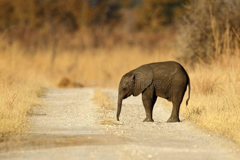 Νέος αφρικανικός ελέφαντας που χάνεται στο δρόμο αμμοχάλικου στοκ εικόνες