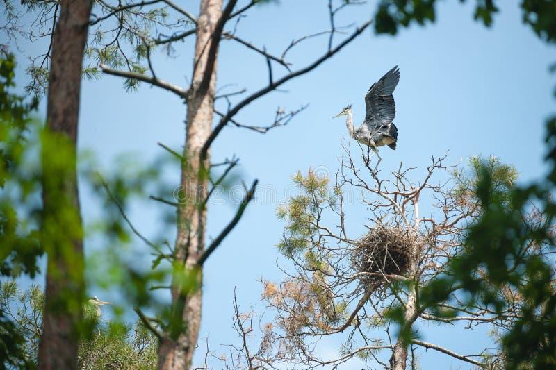 Νέος γκρίζος ερωδιός που στέκεται στην κορυφή ενός δέντρου, κυματίζοντας φτερών και της προσπάθειας να πετάξει επάνω στοκ εικόνες