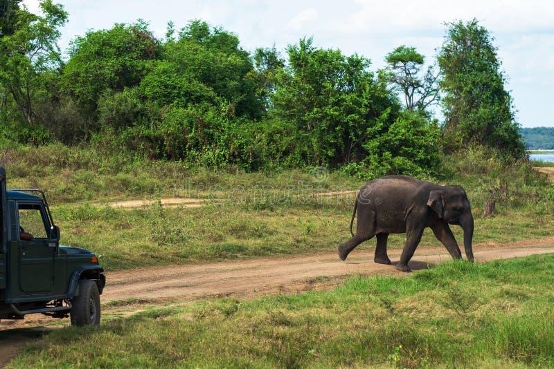 Νέος ελέφαντας που διασχίζει το δρόμο στο εθνικό πάρκο στοκ φωτογραφίες