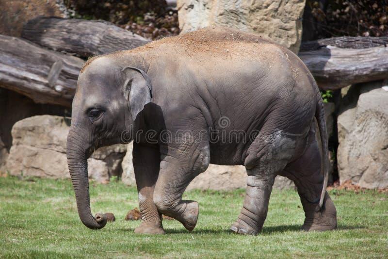 Νέος ινδικός ελέφαντας (indicus maximus Elephas) στοκ εικόνα