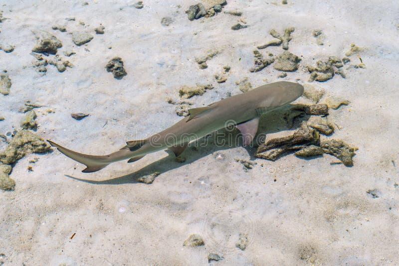 Νέος καρχαρίας σκοπέλων σε Ινδικό Ωκεανό στοκ φωτογραφία με δικαίωμα ελεύθερης χρήσης