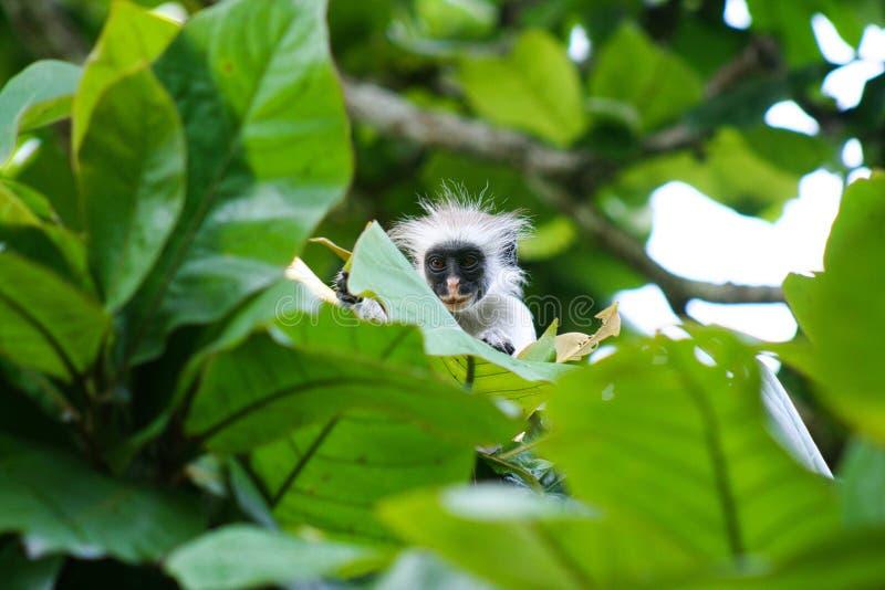 Νέος κόκκινος πίθηκος Piliocolobus, κρύψιμο colobus kirkii Procolobus πίσω από τα φύλλα στα δέντρα του δάσους Jozani, Zanzibar στοκ εικόνα