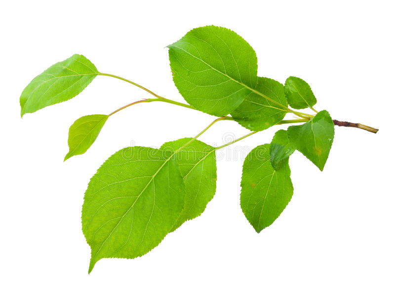 Νέος κλάδος δέντρων μηλιάς στοκ εικόνες