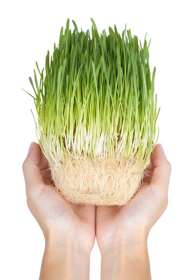 Νέος νεαρός βλαστός σιταριού που απομονώνεται υπό εξέταση στο άσπρο υπόβαθρο, πράσινη χλόη, υγιή τρόφιμα στοκ φωτογραφίες