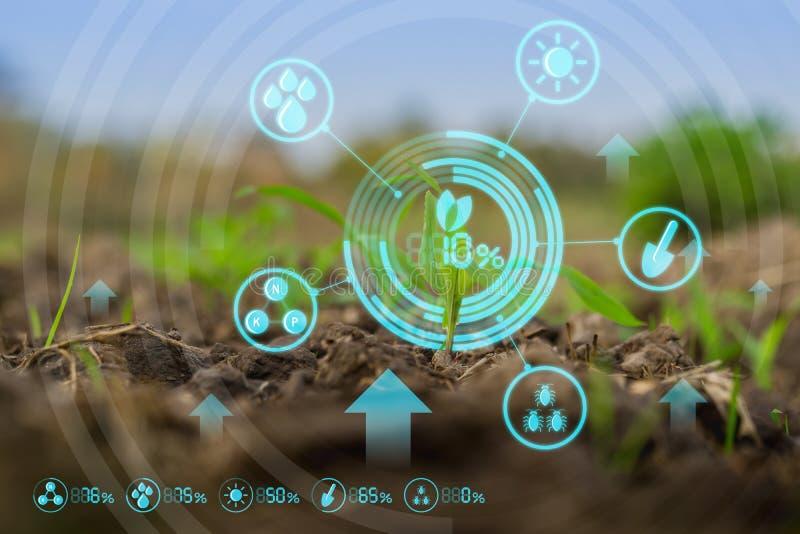 Νέος πράσινος τομέας καλαμποκιού στο γεωργικό κήπο στοκ εικόνες με δικαίωμα ελεύθερης χρήσης