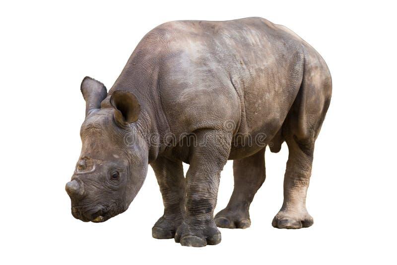 Νέος ρινόκερος στοκ εικόνα