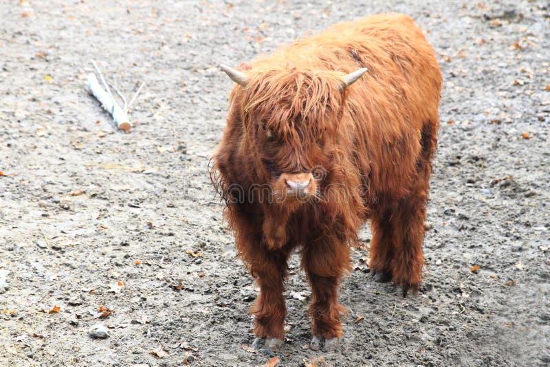 νέος ταύρος βοοειδών ορεινών περιοχών στοκ εικόνα
