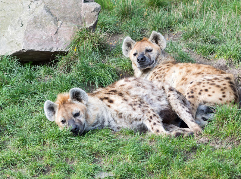 Νέου νυσταλέου hyena δύο στοκ φωτογραφίες