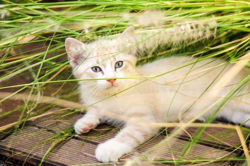 Νέο άσπρο γατάκι με τα φωτεινά μπλε μάτια που παίζουν στην υψηλή χλόη Άγρια γεννημένη άγρια γάτα κοντά σε μια από τις τακτοποιήσε στοκ εικόνες