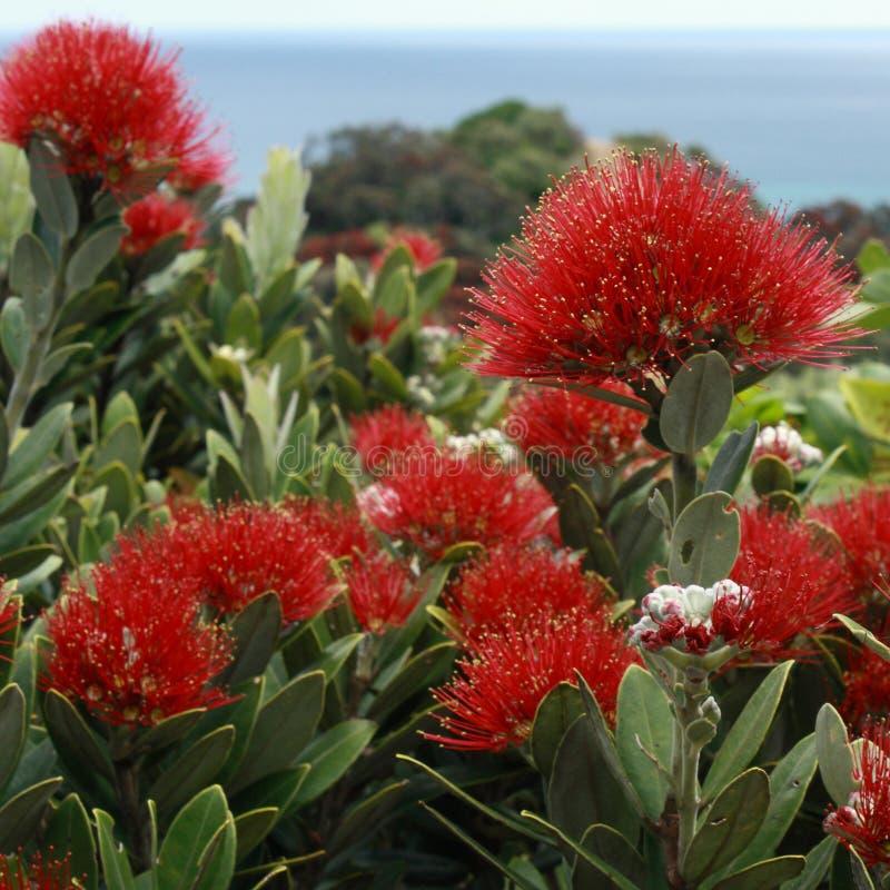 νέο δέντρο Ζηλανδία pohutukawa Χρισ&t στοκ φωτογραφία με δικαίωμα ελεύθερης χρήσης