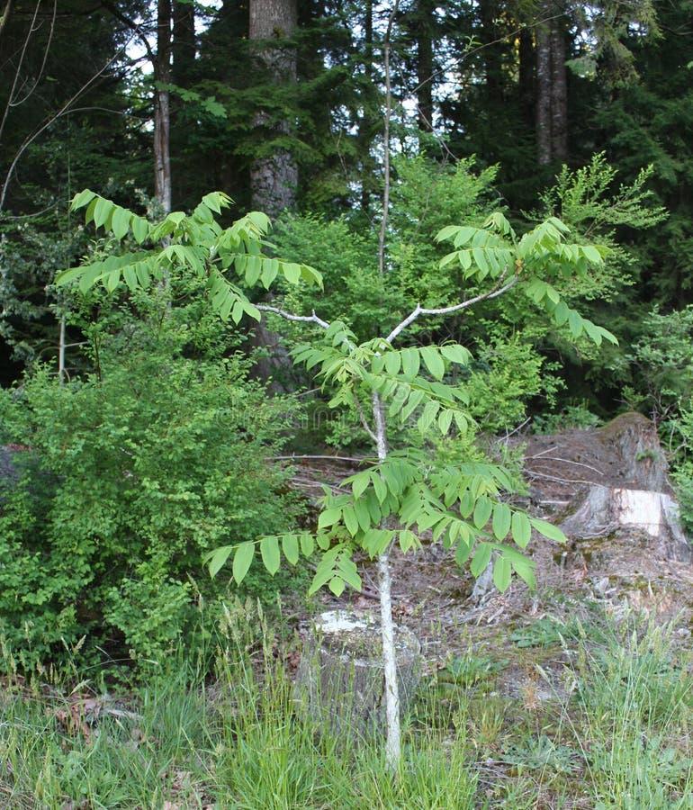 Νέο δέντρο ξύλων καρυδιάς στοκ εικόνα