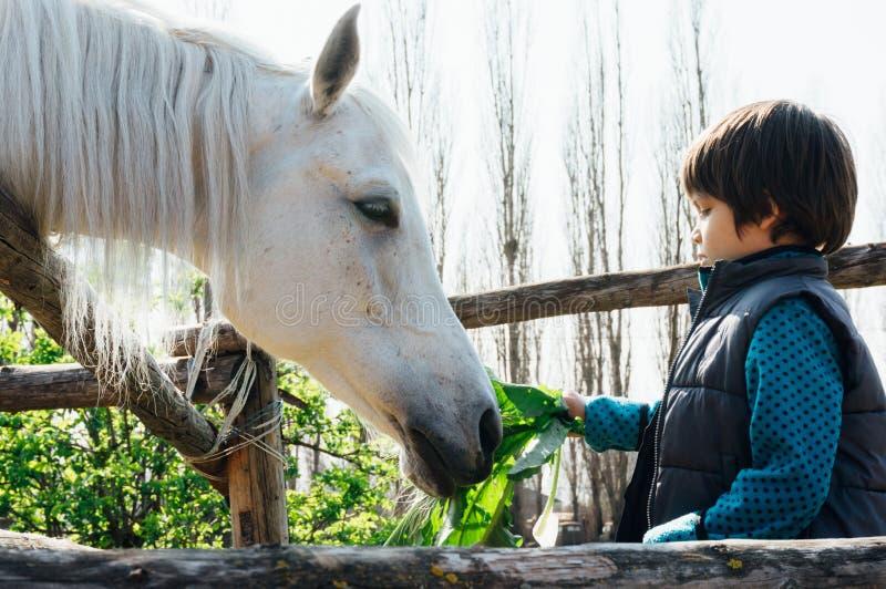 Νέο αγόρι που ταΐζει το άσπρο άλογο στοκ φωτογραφία