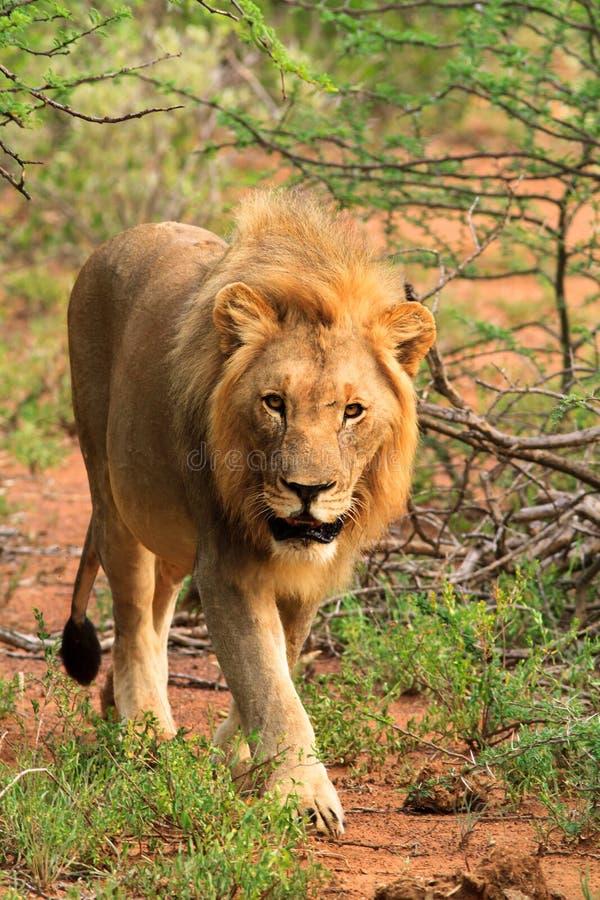 Νέο αρσενικό περπάτημα λιονταριών στοκ φωτογραφία με δικαίωμα ελεύθερης χρήσης