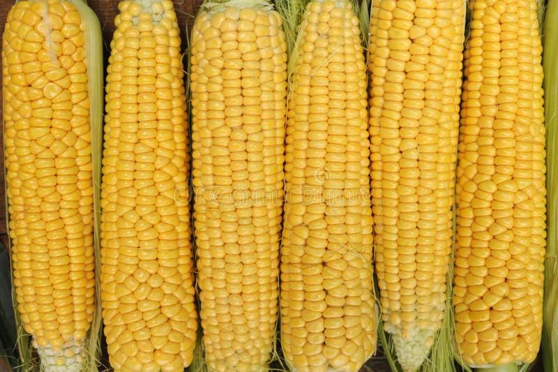 Νέο γαλακτοκομικό ripeness καλαμποκιού, ποικιλίες τροφίμων που αυξάνονται σε ένα οικολογικό αγρόκτημα στοκ φωτογραφίες