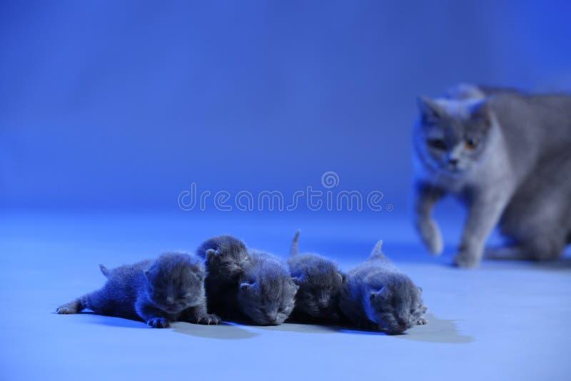Νέο - γεννημένα γατάκια, λίγα παλαιό, μπλε υπόβαθρο ημερών στοκ εικόνα
