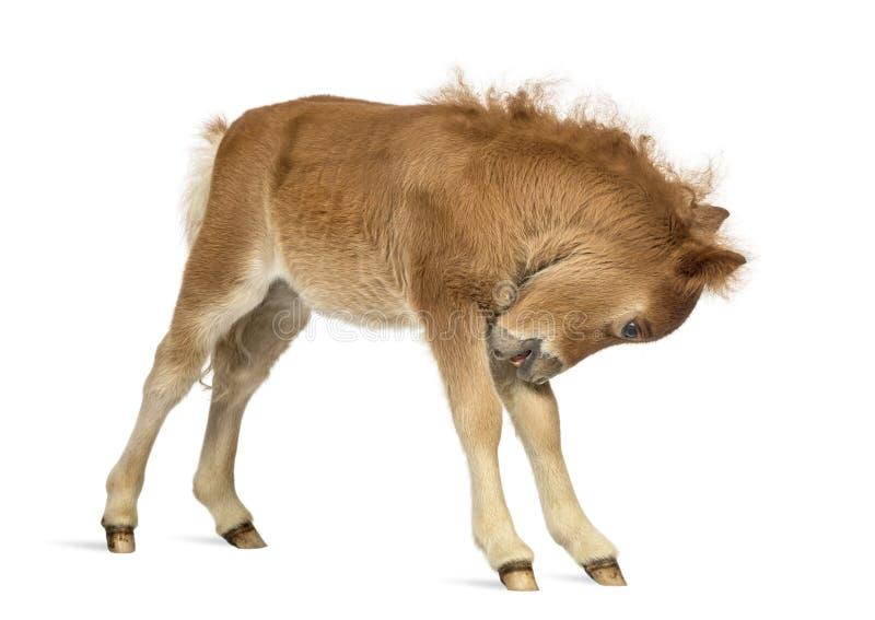 Νέο γρατσούνισμα Poney, foal στο άσπρο κλίμα στοκ εικόνα με δικαίωμα ελεύθερης χρήσης