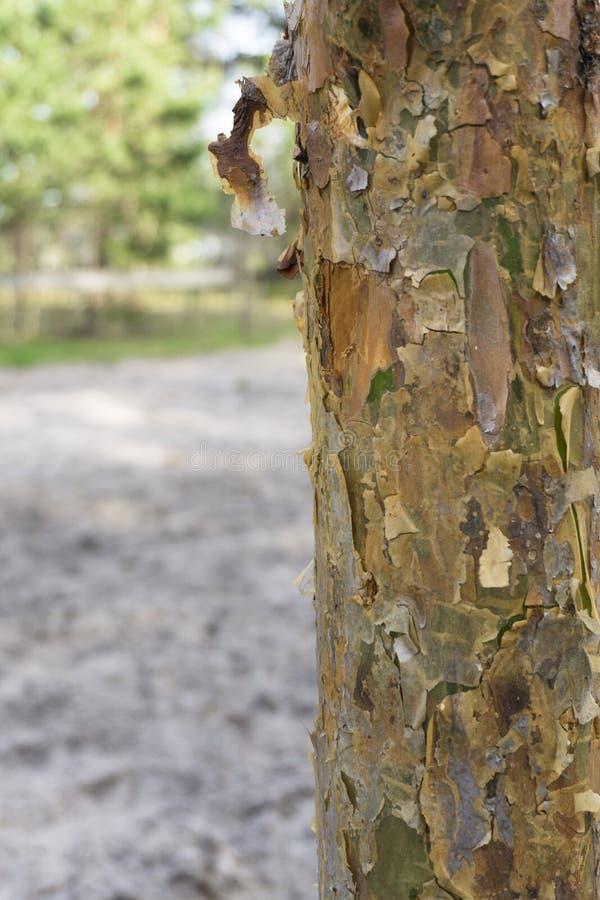 Νέο δάσος φλοιών δέντρων πεύκων την άνοιξη στοκ φωτογραφίες