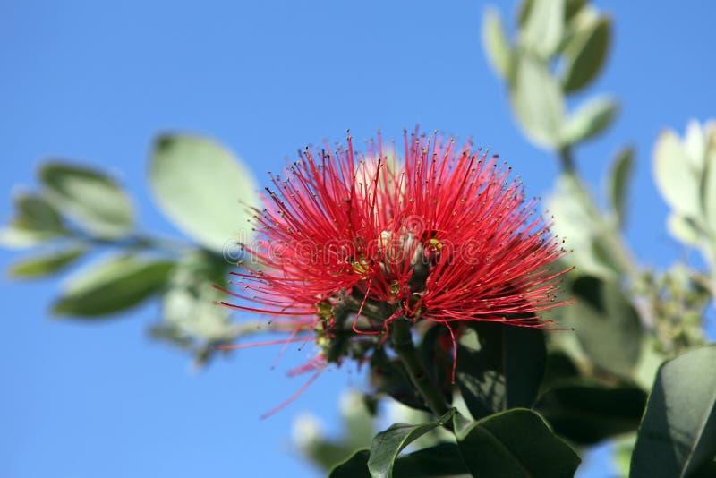 νέο δέντρο Ζηλανδία pohutukawa Χριστουγέννων στοκ εικόνα με δικαίωμα ελεύθερης χρήσης
