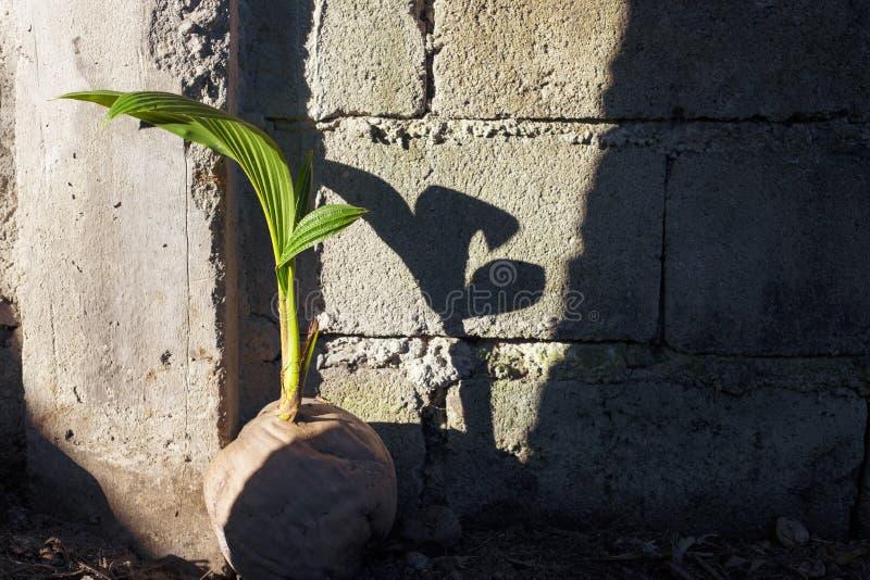 Νέο δενδρύλλιο φοινίκων στην παλαιά καρύδα Σπόρος καρυδιών κοκοφοινίκων Τροπική προέλευση φοινικών κοκοφοινίκων από το σπόρο στοκ εικόνα με δικαίωμα ελεύθερης χρήσης