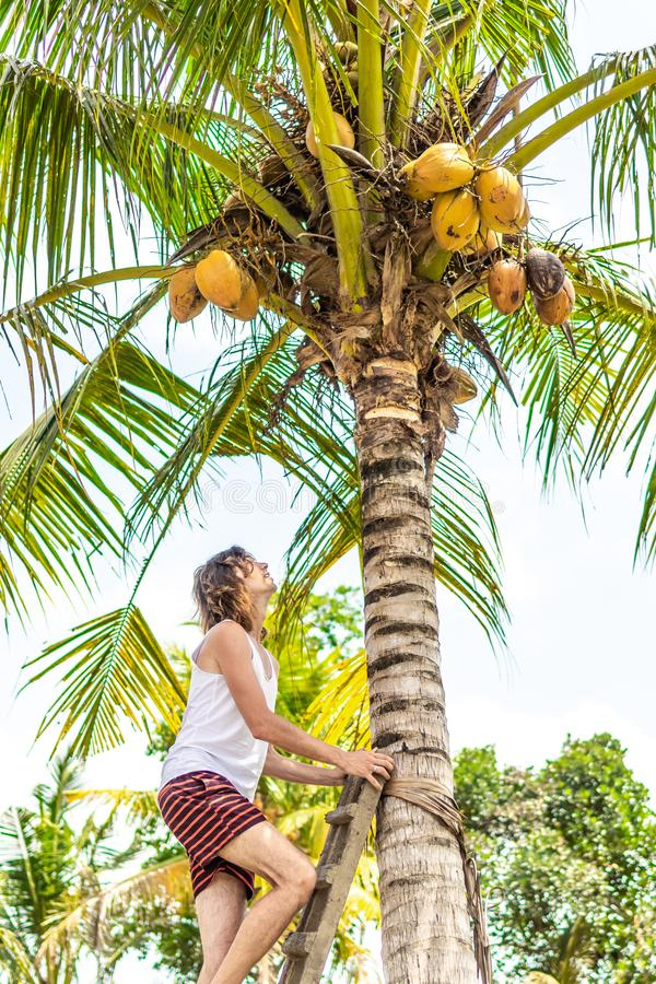 Νέο ευρωπαϊκό άτομο που αναρριχείται στο φοίνικα καρύδων Νησί του Μπαλί στοκ φωτογραφίες