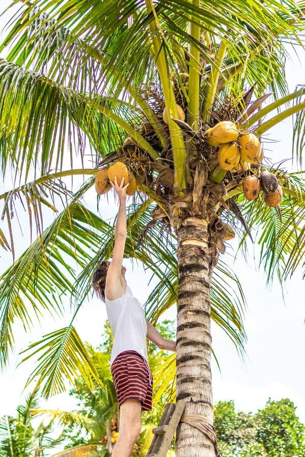 Νέο ευρωπαϊκό άτομο που αναρριχείται στο φοίνικα καρύδων Νησί του Μπαλί στοκ φωτογραφία με δικαίωμα ελεύθερης χρήσης