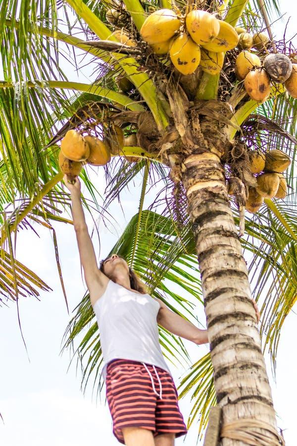 Νέο ευρωπαϊκό άτομο που αναρριχείται στο φοίνικα καρύδων Νησί του Μπαλί στοκ εικόνες
