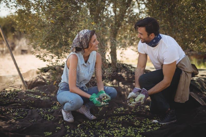Νέο ζεύγος που συλλέγει τις ελιές στο αγρόκτημα στοκ φωτογραφία