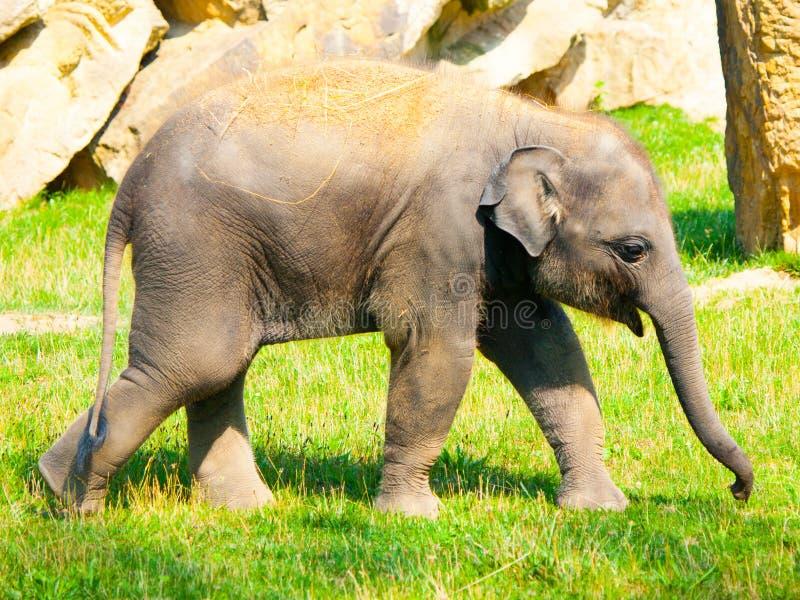 Νέο ινδικό μωρό ελεφάντων την ηλιόλουστη ημέρα στοκ εικόνα με δικαίωμα ελεύθερης χρήσης