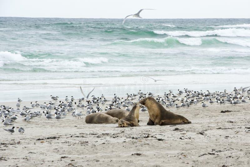 Νέο λιοντάρι θάλασσας με τη μητέρα, νησί καγκουρό στοκ φωτογραφία