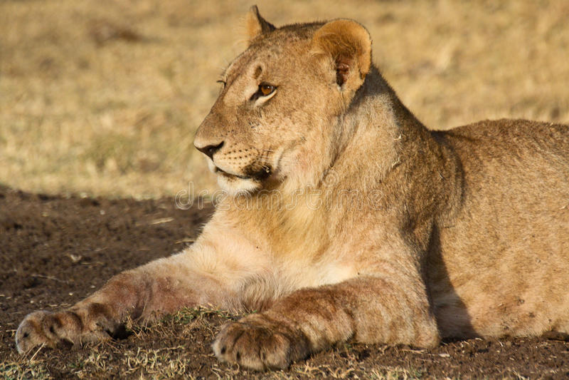 Νέο λιοντάρι που στηρίζεται μετά από ένα γεύμα στοκ εικόνα με δικαίωμα ελεύθερης χρήσης