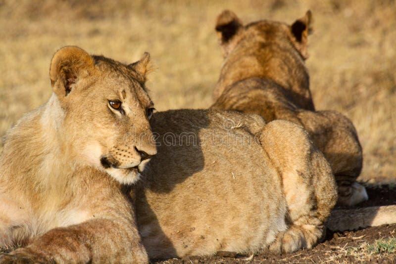 Νέο λιοντάρι στο φως πρωινού στοκ εικόνα