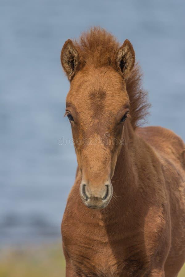 Νέο ισλανδικό άλογο, δυτικά φιορδ, Ισλανδία στοκ εικόνες