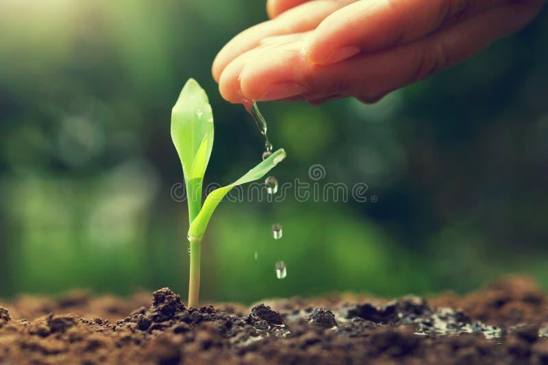 νέο καλαμπόκι ποτίσματος χεριών ot στον κήπο στοκ εικόνες με δικαίωμα ελεύθερης χρήσης