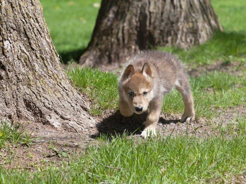 Νέο κουτάβι λύκων στοκ φωτογραφία
