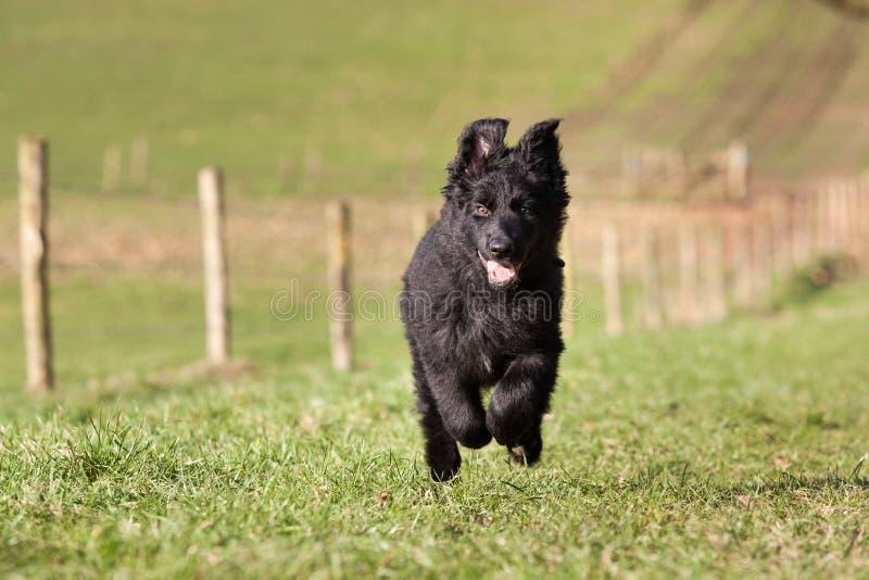 Νέο κουτάβι που τρέχει και που παίζει στοκ εικόνες